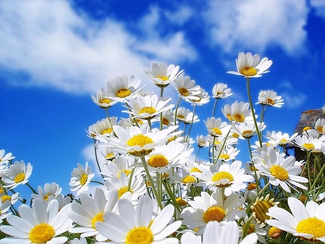 Стихи про ромашку цветок