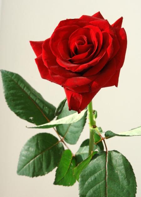 Стихи про розы цветы для детей короткие